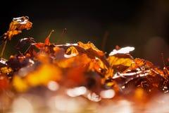 Close-up das folhas de outono Imagem de Stock Royalty Free