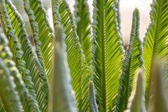 Close-up das folhas de palmeira de uma palmeira pequena, plantas populares para decorar e criar jardins ex?ticos foto de stock royalty free