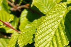 Close-up das folhas do álamo Imagem de Stock