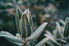 Close-up das folhas do albidus do cistus foto de stock