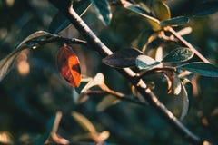 Close-up das folhas do franchetii do cotoneaster fotografia de stock