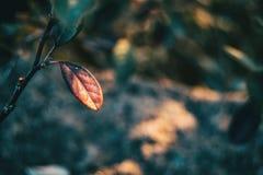 Close-up das folhas do franchetii do cotoneaster fotos de stock royalty free
