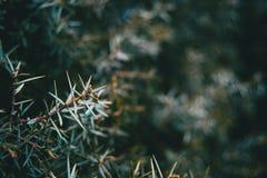 Close-up das folhas do oxycedrus do juniperus foto de stock royalty free