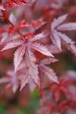 Close up das folhas do ricinus communis, Fotografia de Stock Royalty Free