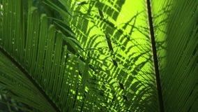 Close up das folhas e do vento dos Cycads na luz natural