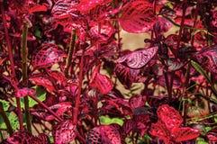 Close-up das folhas impares vermelhas no Horto Florestal, perto de Campos de Jordão Imagens de Stock