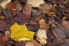 Close-up das folhas no outono Fotografia de Stock Royalty Free