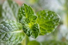 Close up das folhas verdes novas frescas da pastilha de hortelã Fotos de Stock Royalty Free