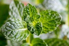 Close up das folhas verdes novas frescas da pastilha de hortelã Fotografia de Stock