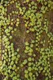 Close up das folhas verdes pequenas de escaladas da hera na árvore com luz do sol foto de stock royalty free