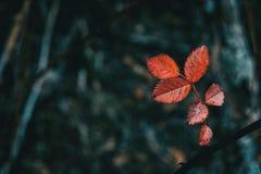 Close-up das folhas vermelhas do rubiginosa de rosa foto de stock
