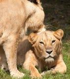 Close-up das leoas foto de stock
