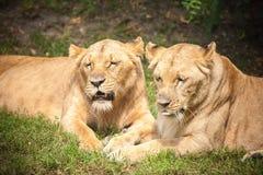 Close-up das leoas fotografia de stock