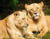 Close-up das leoas fotos de stock royalty free