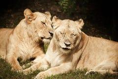 Close-up das leoas imagem de stock royalty free