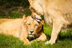 Close-up das leoas fotos de stock