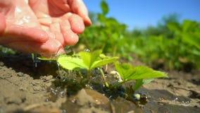 Close up das mãos fêmeas que molham Bush novo da morango de jardim que cresce na exploração agrícola, movimento lento vídeos de arquivo