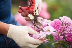Close up das mãos nas luvas brancas e dos secateurs que podam flores cor-de-rosa imagem de stock