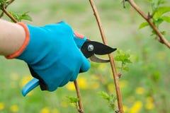 Close up das mãos que fazem a poda de arbustos de framboesa, jardineiro da mola nas luvas com tesoura de podar manual do jardim imagens de stock royalty free