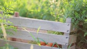 Close-up das mãos que põem uma cenoura na caixa no campo na luz bonita do por do sol vídeos de arquivo