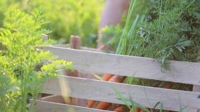 Close-up das mãos que põem uma cenoura na caixa no campo na luz bonita do por do sol video estoque