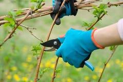 Close up das m?os que fazem a poda de arbustos de framboesa, jardineiro da mola nas luvas com tesoura de podar manual do jardim imagem de stock