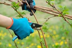 Close up das m?os que fazem a poda de arbustos de framboesa, jardineiro da mola nas luvas com tesoura de podar manual do jardim fotos de stock