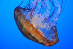 Close-up das medusas Foto de Stock Royalty Free