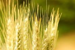Close up das orelhas douradas bonitas do trigo Imagem de Stock Royalty Free