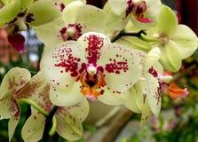 Close up das orquídeas brancas e vermelhas Imagem de Stock