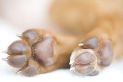 Close up das patas do filhote de cachorro de Rhodesian Ridgeback Imagem de Stock