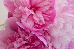 Close up das peônias Imagem de Stock
