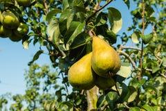 Close up das peras de amadurecimento que penduram nas árvores imagens de stock royalty free