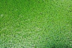 Close up das plantas de flutuação da lentilha-d'água que flutuam o fundo verde da superfície da água fotos de stock