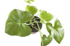Close up das plantas internas Foto de Stock