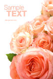 Close up das rosas Foto de Stock