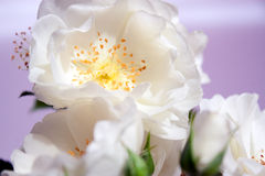 Close up das rosas brancas Fotografia de Stock Royalty Free