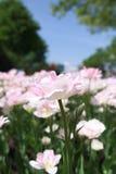 Close up das tulipas Imagens de Stock