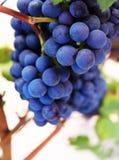 Close-up das uvas imagens de stock