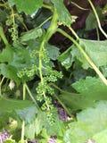 Close up das uvas orgânicas que começam a tornar-se Fotografia de Stock Royalty Free