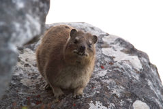 Close up of a dassie Stock Image