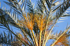 Date palm tree Stock Photography