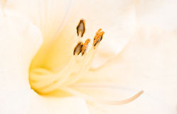 Close up daylily flower stamen Stock Photography