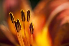 Orange Daylily close up Stock Photography