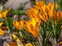 Close-up de açafrões amarelos no jardim foto de stock royalty free