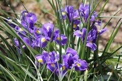 Close-up de açafrões azuis foto de stock royalty free