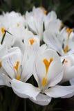 Close-up de açafrões brancos vibrantes luxúrias com detalhes violetas Imagem de Stock