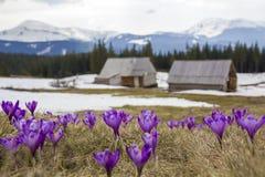 Close-up de açafrões de florescência maravilhosos no mounta Carpathian Imagens de Stock Royalty Free