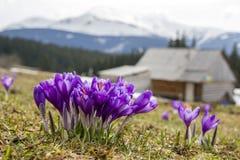 Close-up de açafrões de florescência maravilhosos no vale das montanhas Carpathian Imagem borrada da cabana dos pastores e das mo Fotos de Stock Royalty Free