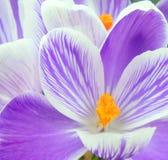 Close-up de açafrões roxos e brancos Foto de Stock Royalty Free